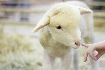 Focus On Foreground Photograph - Lamb At Denver Stock Show by Anda Stavri Photography