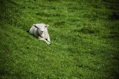 Photograph - Lamb by Chris Coffee