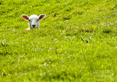 Baby Wool Photograph - Lamb In A Dip by Meirion Matthias