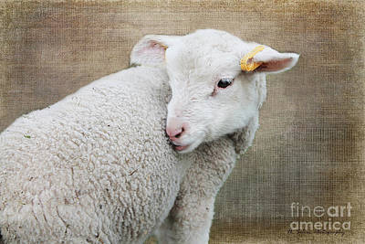 Photograph - Lamb Lament 2 by Nina Silver