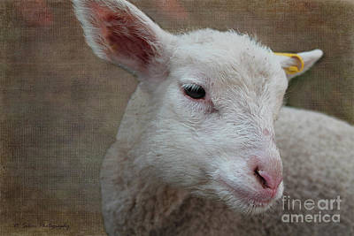 Photograph - Lamb Lament by Nina Silver