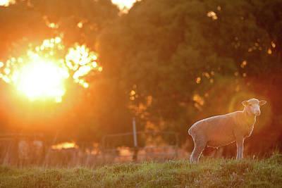 Livestock Photograph - Lamb Of God by Robert Lang Photography