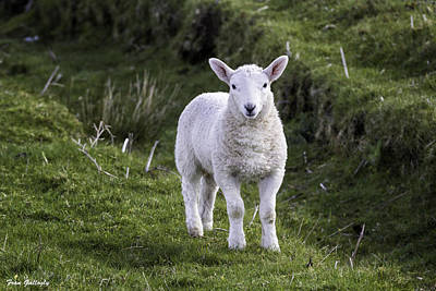 Photograph - Lamb On The Isle Of Skye by Fran Gallogly