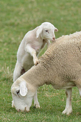 Photograph - Lamb Seeks Attention From Mom by Alan Lenk