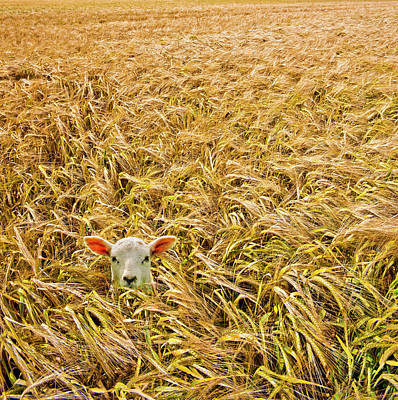 Crops Photograph - Lamb With Barley by Meirion Matthias