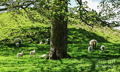 Photograph - Lambing Season by Lexa Harpell
