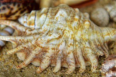 Photograph - Lambis Seashell by Olga Hamilton
