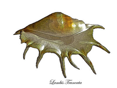 Photograph - Lambis Truncata Giant Spider Shell by Frank Wilson