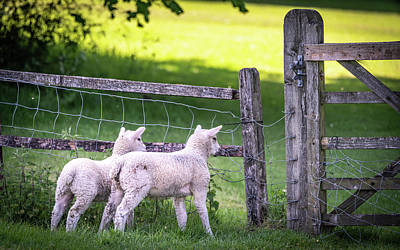 Photograph - Lambs At The Gate by Framing Places