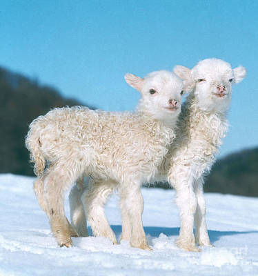Photograph - Lambs In Winter by Hans Reinhard