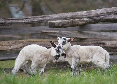 Photograph - Lambs Playing by Buddy Scott