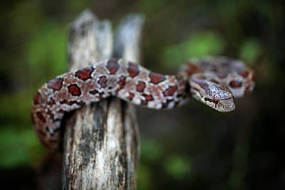 Photograph - Lampropeltis Calligaster by JC Findley