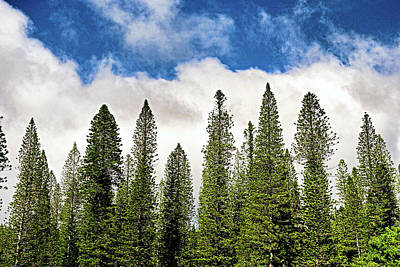 Photograph - Lanai City Cook Island Pines Study 1 by Robert Meyers-Lussier