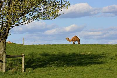 Photograph - Lancaster County Camel by Tana Reiff