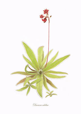 Insect Eating Plants Drawing - Lance Leaved Sundew by Scott Bennett