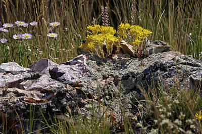 Photograph - Lanceleaf Stonecrop Sedum 1 by Roger Snyder