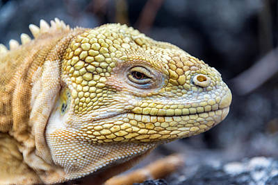 Land Iguana Photograph - Land Iguana Closeup by Jess Kraft