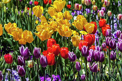 Photograph - Land Of Tulips by David Millenheft