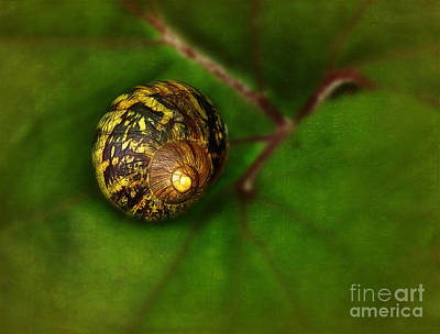 Photograph - Land Snail On Leaf by Judi Bagwell