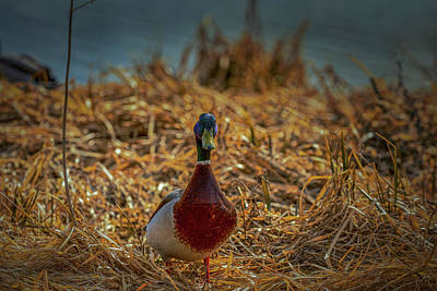 Photograph - Landed Duck #g2 by Leif Sohlman