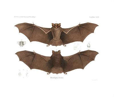 Drawing - Lander's Horseshoe Bat, Rhinolophus Landeri by C H Haas