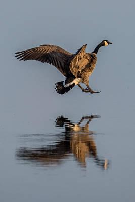 Ganders Photograph - Landing Canadian Goose by Paul Freidlund
