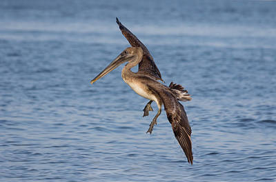 Photograph - Landing - Florida Brown Pelican by Kim Hojnacki