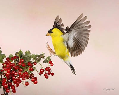 Landing For A Quick Charge At The Currant Bush Art Print by Gerry Sibell