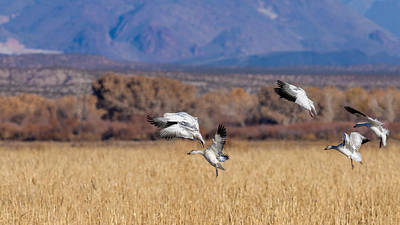 The Flight Of The Snow Geese Photograph - Landing Gears Down - Snow Geese Landing by SharaLee Art