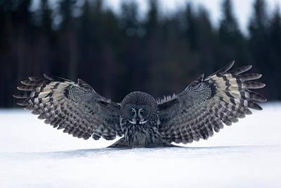 Great Grey Owl Photograph - Landing In The Snow by Kique Ruiz