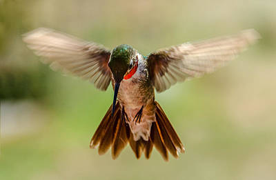 Photograph - Broad-tailed Hummingbird Landing by John Brink