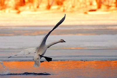 Photograph - Landing On Golden Pond by Larry Ricker