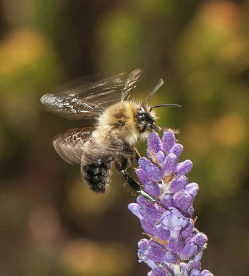 Photograph - Landing On Lavender by Len Romanick