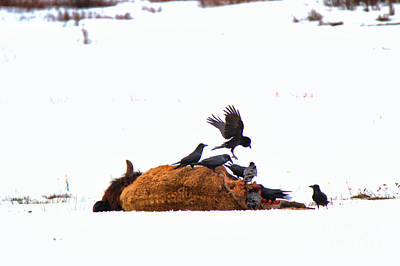 Photograph - Landing On The Fresh Carcass by Adam Jewell