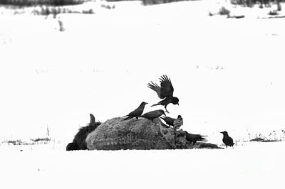 Photograph - Landing On The Fresh Carcass Black And White by Adam Jewell
