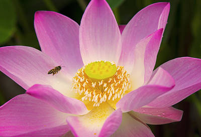 Landing On The Sweet Lotus Flower Art Print by Narongchai Saelee