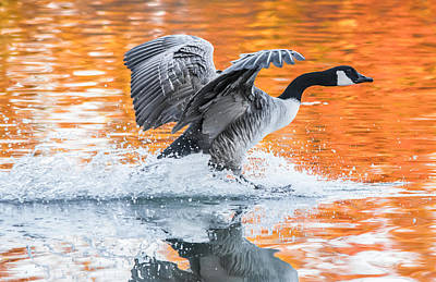Birds Living In Nature Photograph - Landing by Parker Cunningham