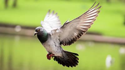 Photograph - Landing Pigeon In The Park A by Jacek Wojnarowski
