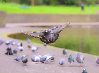 Photograph - Landing Pigeon In The Park A1 by Jacek Wojnarowski