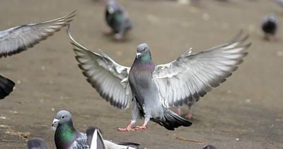 Photograph - Landing Pigeon In The Park A2 by Jacek Wojnarowski