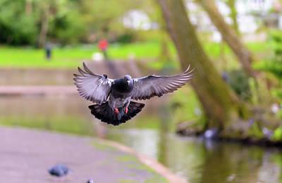 Photograph - Landing Pigeon In The Park A4 by Jacek Wojnarowski