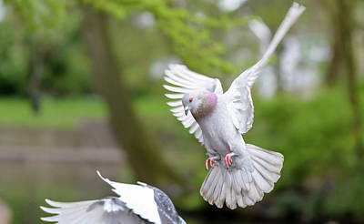 Photograph - Landing Pigeon In The Park A5 by Jacek Wojnarowski