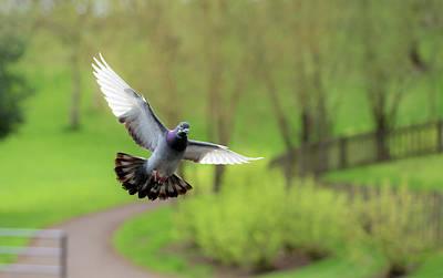 Photograph - Landing Pigeon In The Park B by Jacek Wojnarowski