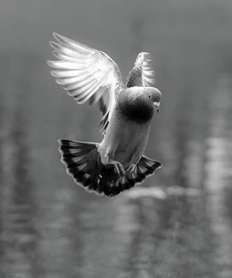 Photograph - Landing Pigeon In The Park C by Jacek Wojnarowski