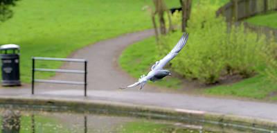 Photograph - Landing Pigeon In The Park E by Jacek Wojnarowski