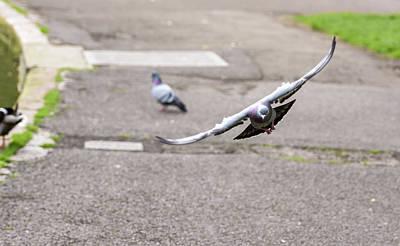 Photograph - Landing Pigeon In The Park F by Jacek Wojnarowski