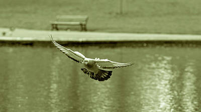 Photograph - Landing Pigeon In The Park G by Jacek Wojnarowski