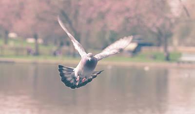 Photograph - Landing Pigeon In The Park N by Jacek Wojnarowski