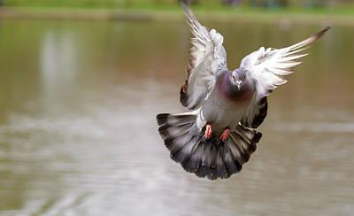 Photograph - Landing Pigeon In The Park O by Jacek Wojnarowski