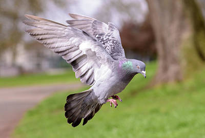 Photograph - Landing Pigeon In The Park P by Jacek Wojnarowski